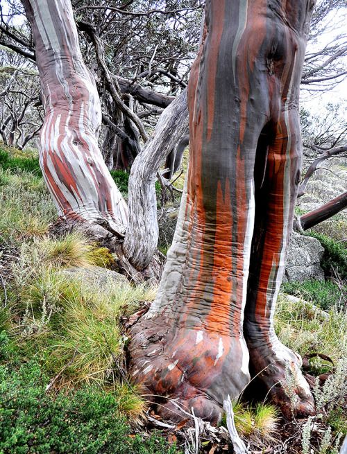 Snow Gums By John Nell With Images Weird Trees Old Trees