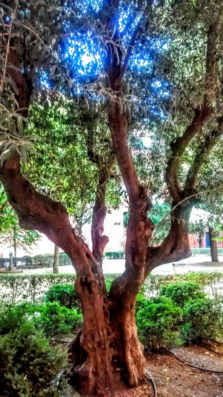 """Hermoso árbol en una de las """"corrales"""" de Covibar. FOTO DE RISELO."""
