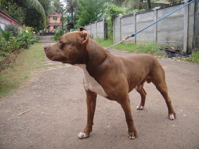 Pitbull Dog In India Water Sky Pitbull Dog Dogs Pitbulls