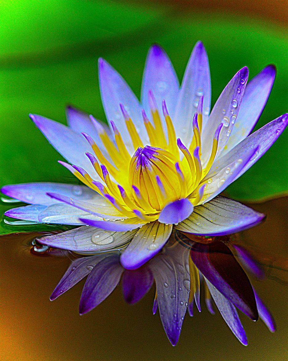 Purple water lilies //water features//ponds Plants//5 seeds a pack