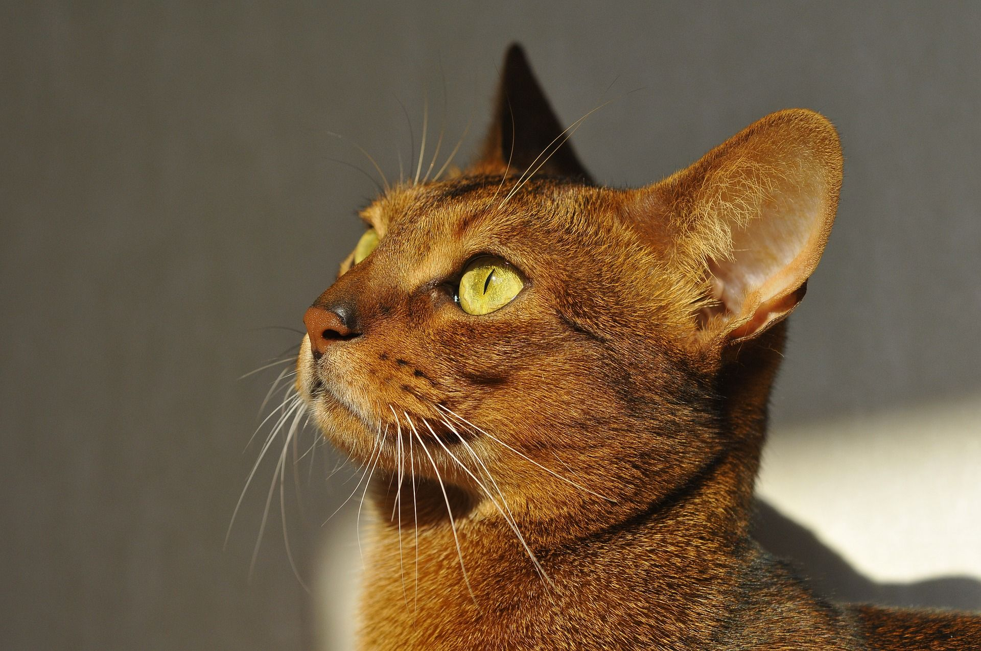 Abyssinian Cat breeds, Cat facts, Abyssinian