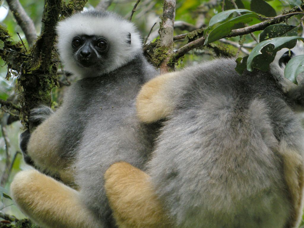 Diademed Sifaka, Mantadia, Madagascar