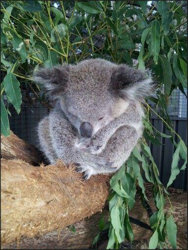 Pin By Alison Godlewski On Koala Bears Pinterest Baby Koala