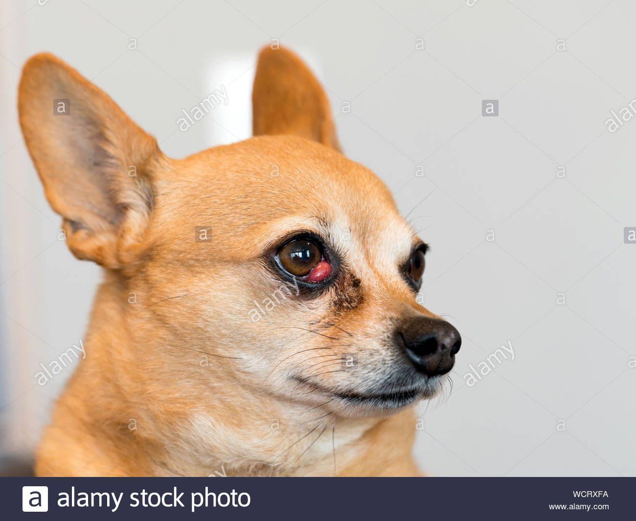 Chihuahua Mix Dachshund Stockfotos Chihuahua Mix Dachshund Seven Of The Most Interesting Chihuahua Breed Mixes In 2020 Chihuahua Mix Chihuahua Breeds Lazy Dog Breeds