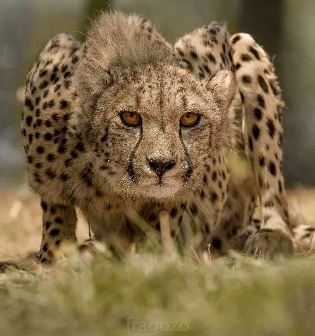Pin by Johnnie m Jamaica on Big Cats. . in 2020 Animal
