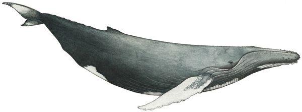 Humpback-whale.jpg (600×222)