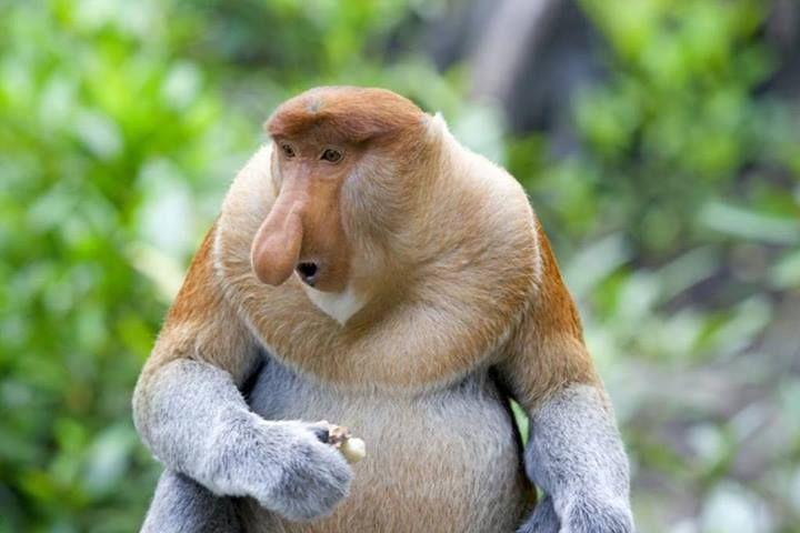 Ugly Endangered Animals | Proboscis Monkey Endangered Animals Pinterest Ugly Animals