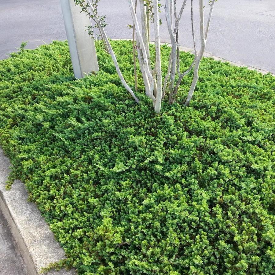 National Plant Network 1Quart Juniper Accent Shrub in Pot