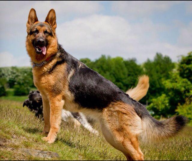 Beautiful German Shepherd Schaferhunde Wachhund Schaferhund Welpen