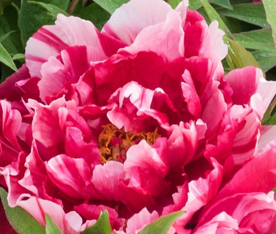 Striped POPPY FLEMISH ANTIQUE Red White Streaked Lines 50 Seeds