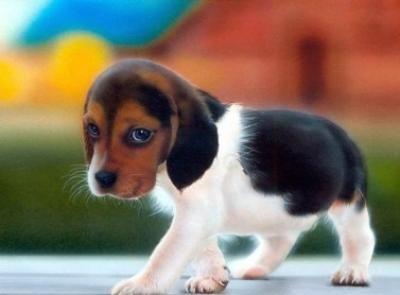 Miniature Beagles Adorable Miniature Beagle Male Puppy For Sale