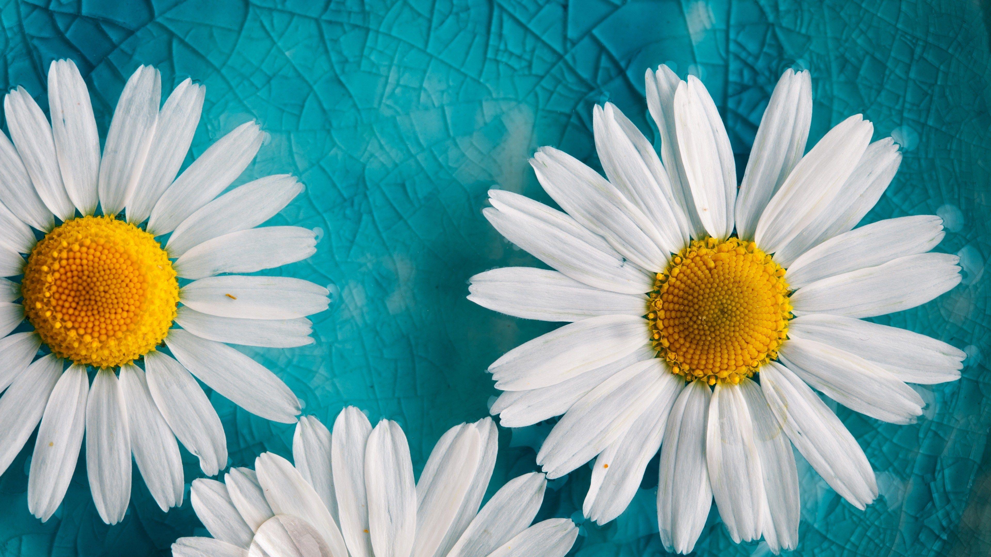 4k Pc Desktop Hd Wallpaper 3840x2160 White Sunflowers Blue Art Prints Flower Backgrounds