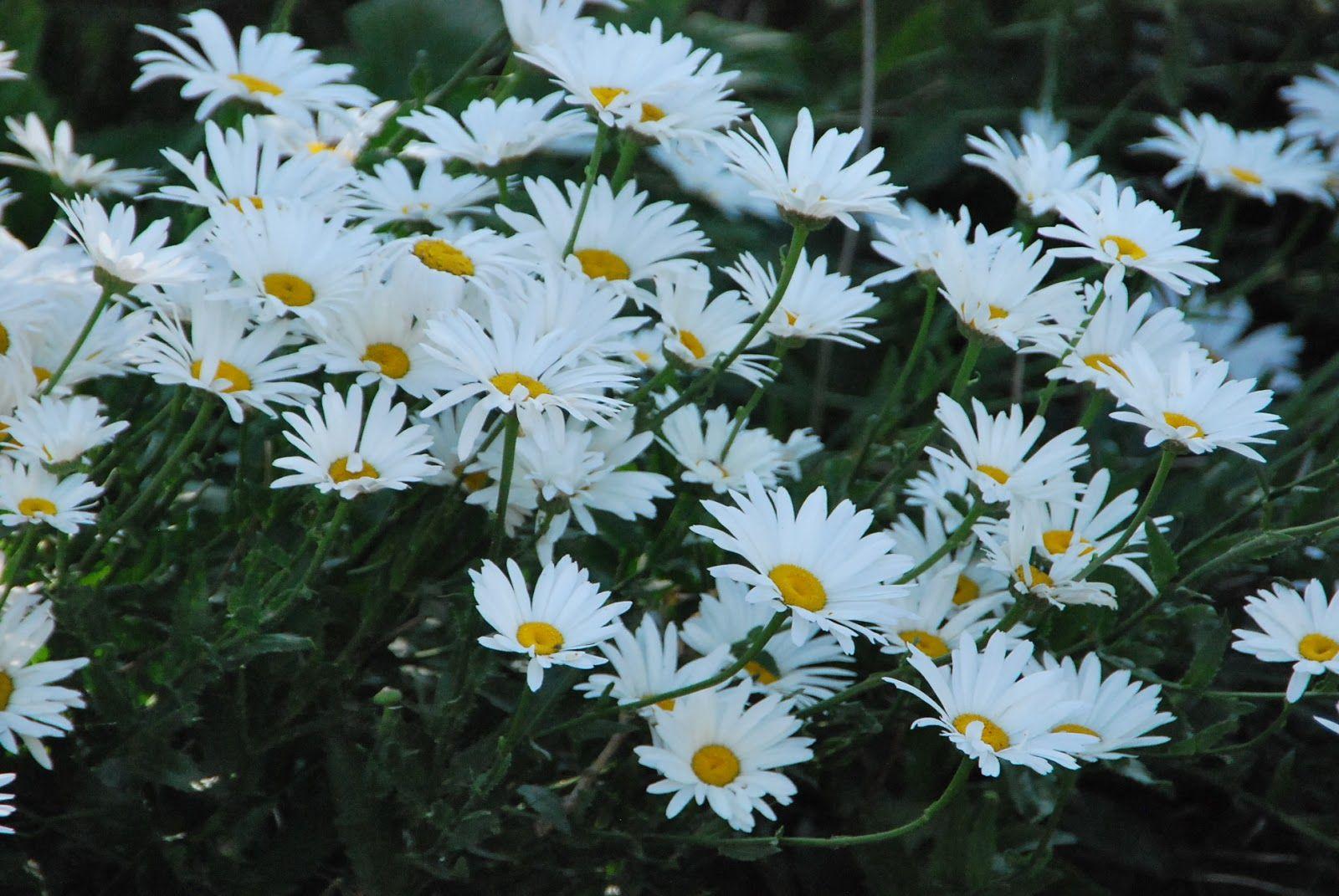 Fotos De Flores 2: MARGARITAS DE VARIOS COLORES