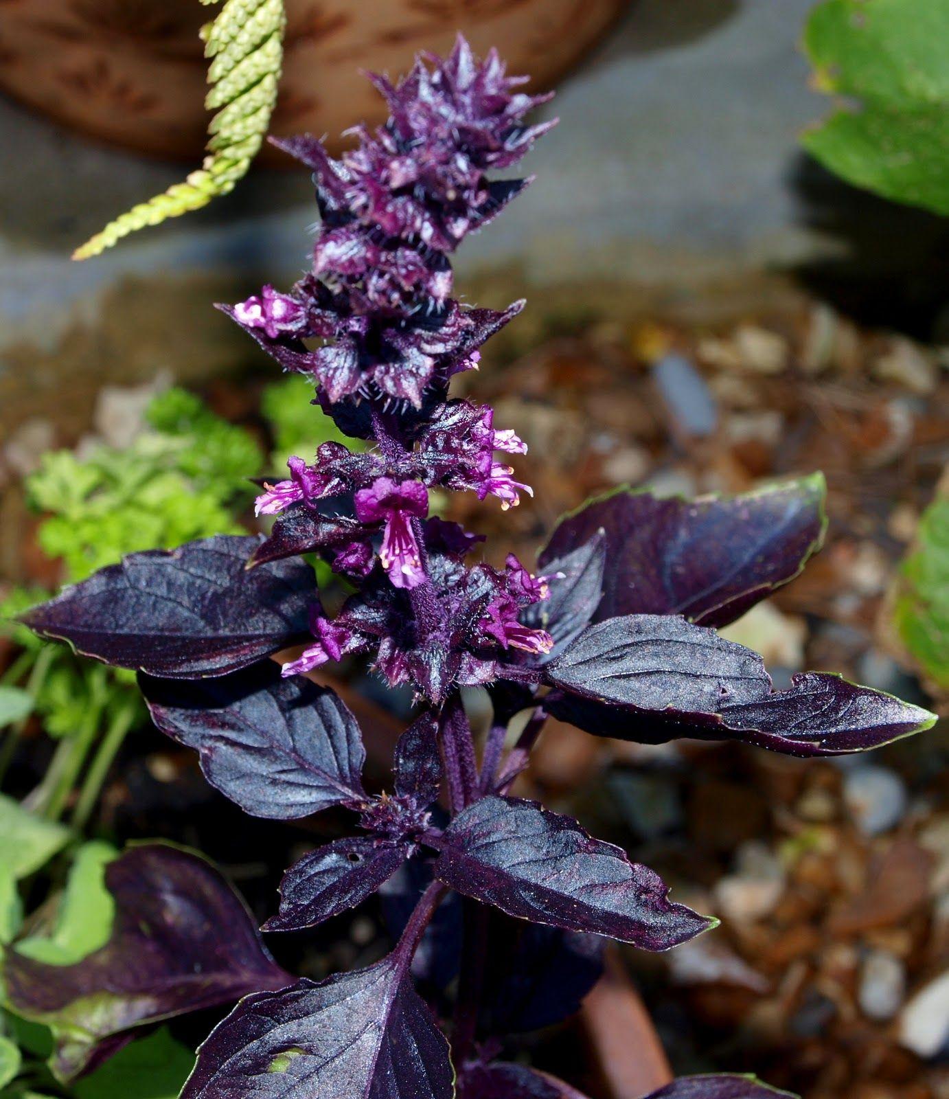 Légumes en fleurs basilic Planter des fleurs, Fleurs