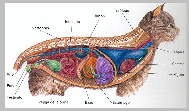 Anatomía de un gato | Human and animal bodies in school en 2018 ...