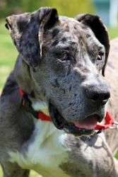 Gracie is an adoptable Great Dane Dog in Fort Wayne, IN. Meet Gracie!!? She is a stunning purebred, 18 month old?Great Dane.? Gracie is on the small size and only weighs 75 pounds. She is gaining weig...