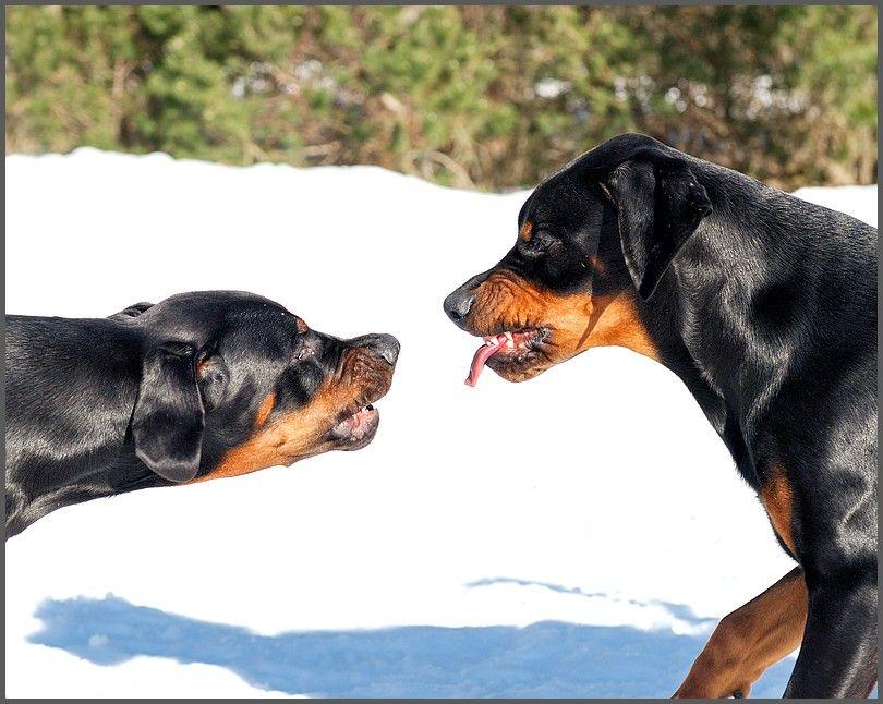 Grrr!.............. Grrr to you too! Dogs, Animals