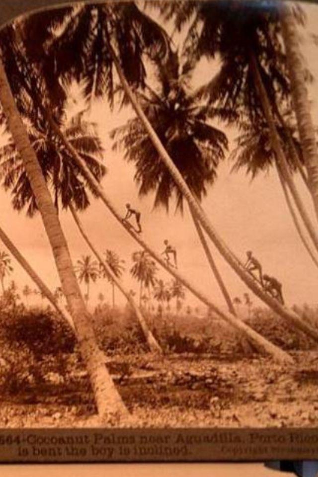 Ninos Tumbando Cocos En Aguadilla Para 1900S  Vintage -2479