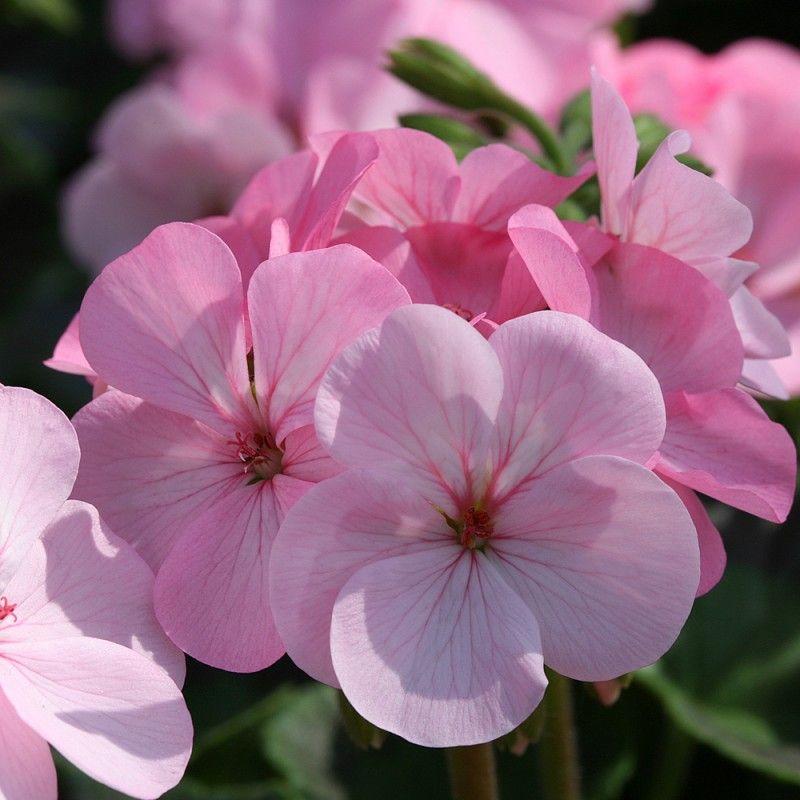 Épinglé sur Fleurs de jardin Printemps/été
