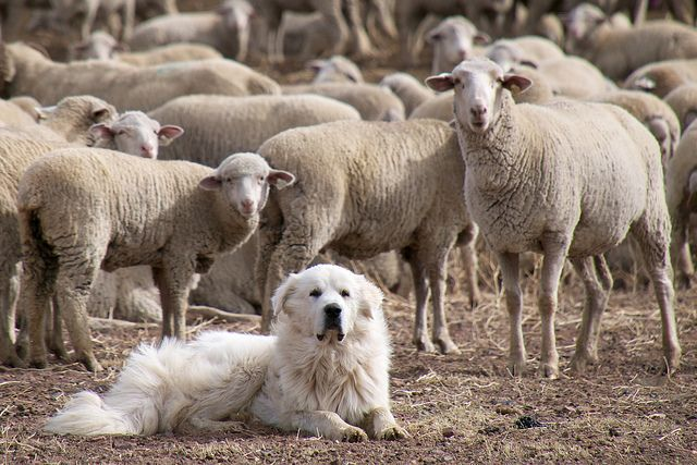 Great Pyrenees Sheep Dog Guarding the Flock by donjd2 on Flickr. :)