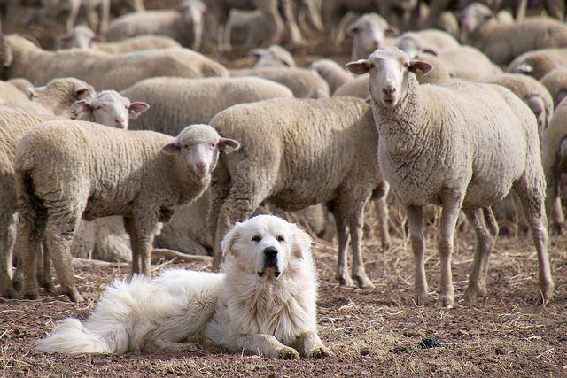 Good Dog Sheepdogs Protect Predators As They Protect Sheep Farm Dogs Low Maintenance Dog Breeds Livestock Guardian Dog