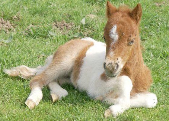 FOHLEN Shetland Pony Fohlen Pferde, Fohlen, Hübsche pferde
