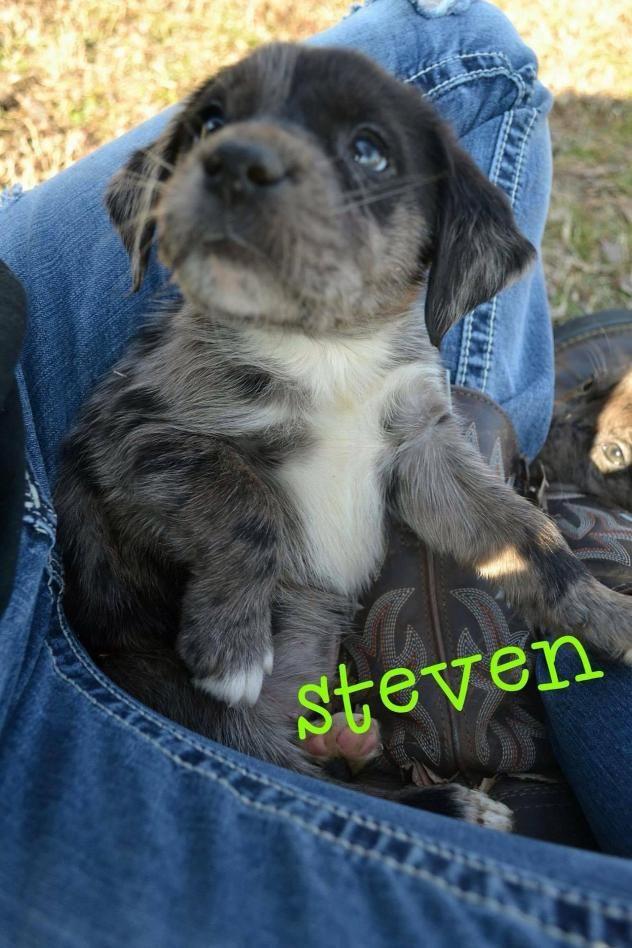 Adopt Steven On Leopard Dog Animals Labrador Retriever Mix