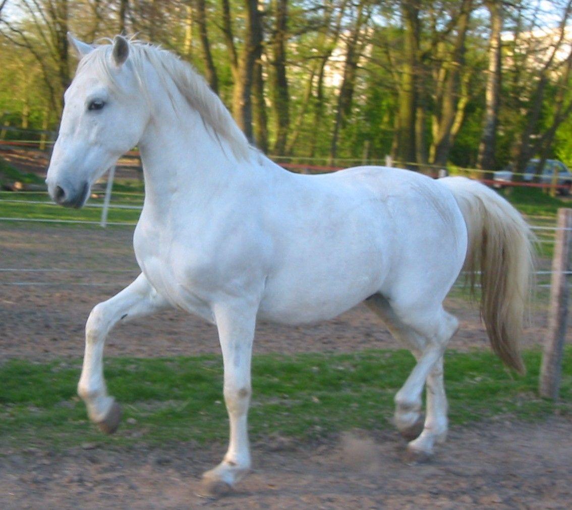 Lipicanec ( Lipizzian horse. Slovenian breed horse ...