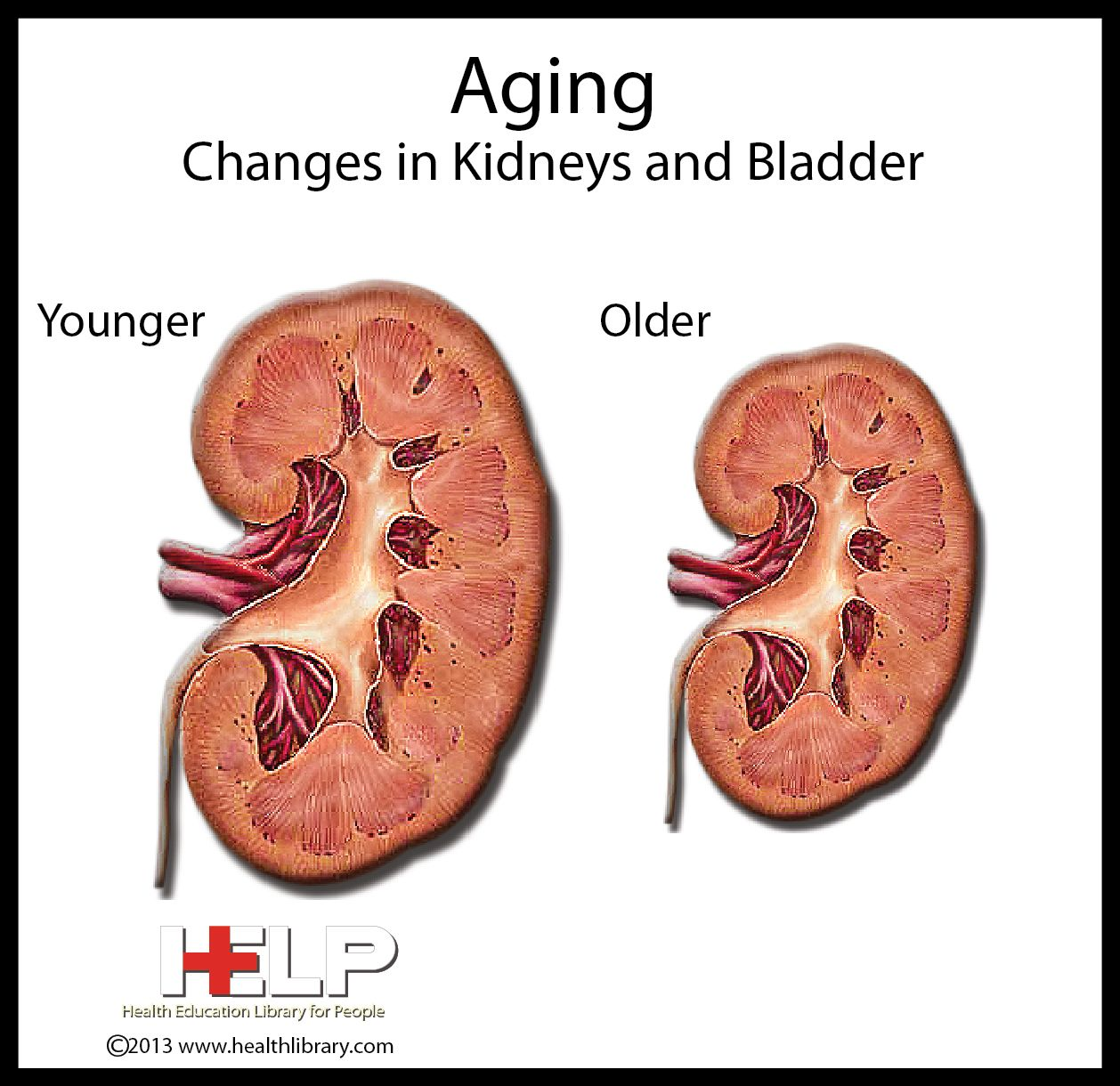 physiology of aging Physiological changes occur with aging in all organ systems the cardiac output  decreases, blood pressure increases and arteriosclerosis develops the lungs.