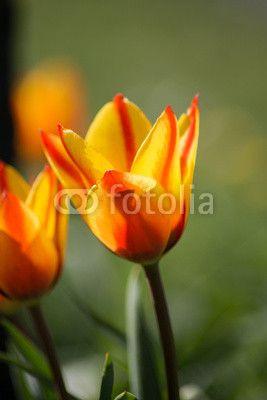"""Tulpen """"Firelieaf"""""""