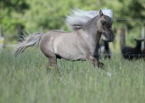 """Buck On's Cinnamax ~ 2001 33"""" Silver Grulla Miniature Horse standing at Country Charm Stud"""