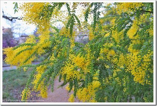 Acacias In Bloom At Uc Davis Arboretum Australian Native Plants Australian Wildflowers Australian Native Flowers