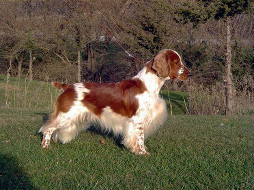 Pin on Welsh Springer Spaniels