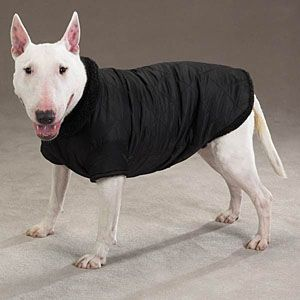 English Bull Terrier in a thermal lined Jacket <3