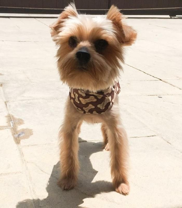 GayWeHo Dogs 4 U 🐶 on Yorkshire terrier, Yorkie, Terrier mix