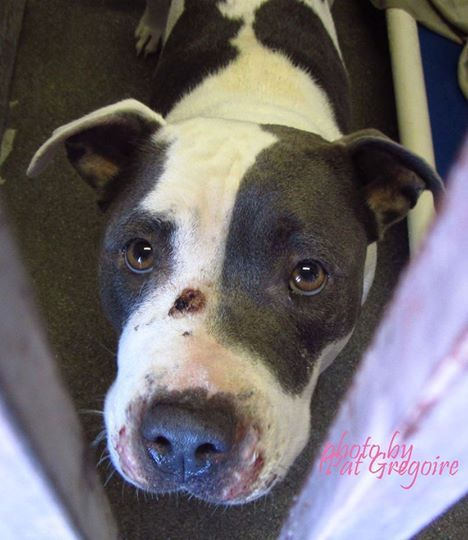 10/14/16 - BALDWIN PARK, CA. A4809659 My name is Rosie. I am a very friendly 2 yr old female white/gray pit bull mix. My owner left me here on March 19. available now!!! Please contact the shelter directly to find out its availability. NOTE: Bully breeds are not kept as long as others so these dogs are always urgent!! https://www.facebook.com/photo.php?fbid=942292899115881&set=a.705235432821630&type=1&permPage=1