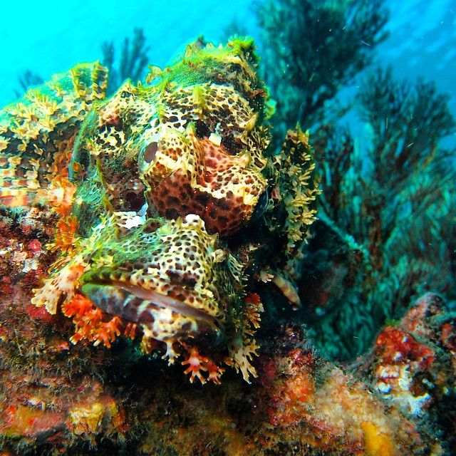 Watch out! The scorpionfish is a master of camouflage. You wouldn't want to mistake this guy for a rock to grab onto!