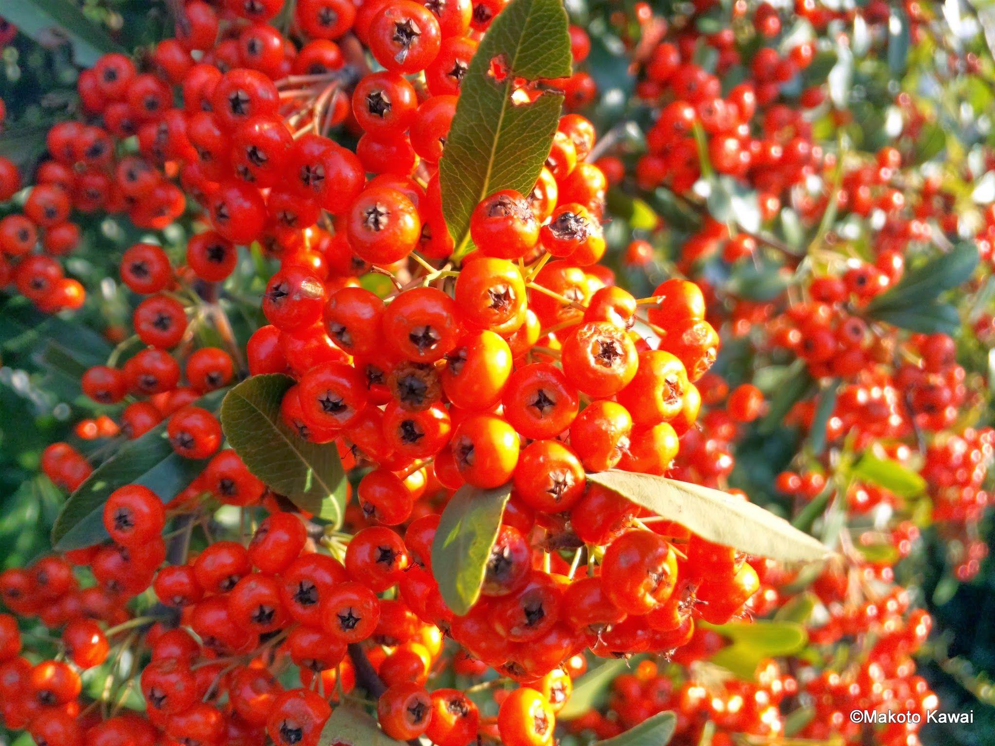 赤い実の群れ