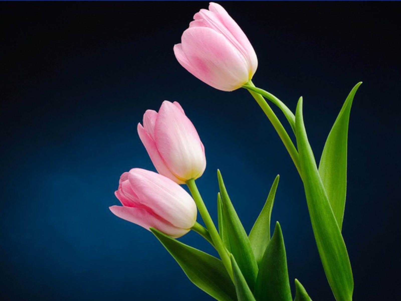 bright colored tulip wallpaper for your desktop naldz graphics