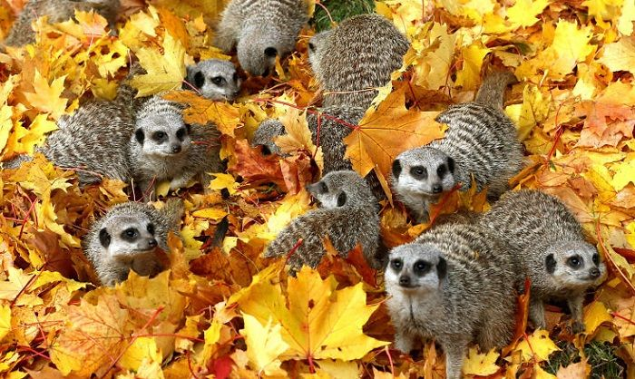 Сурикаты в листве.