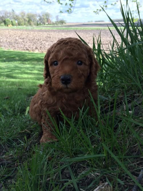 Dark Red Mini Goldendoodle Puppy For Sale 1500 Puppies Will Be
