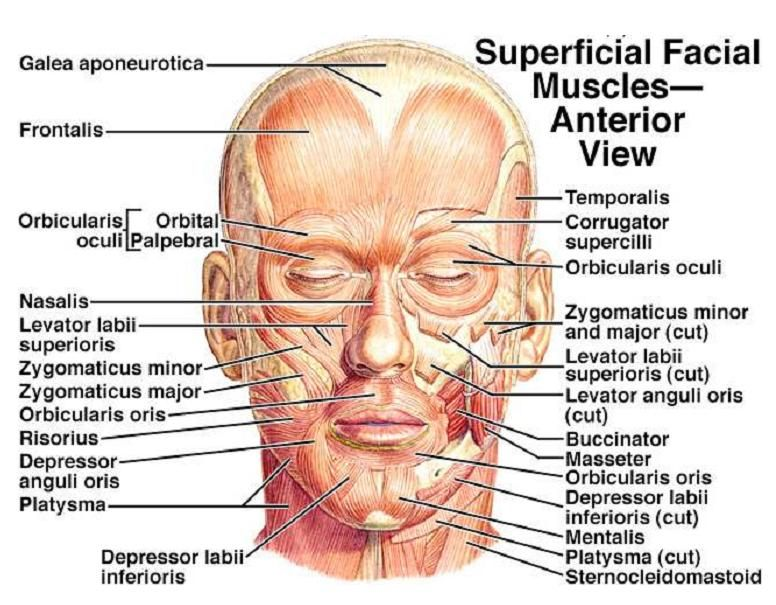 Face Anatomy Diagram - Free Anatomy Pictures | Facial Paralysis ...