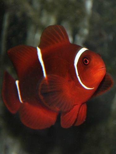 White Stripe Maroon Clownfish Clown Fish Coral Reef Aquarium Aquarium Fish