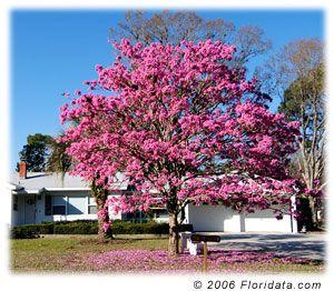Floridata Tabebuia Heterophylla Flowering Trees Blooming Trees Plants