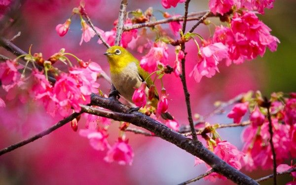 Yellow Bird Standing on Pink Flowers Tree