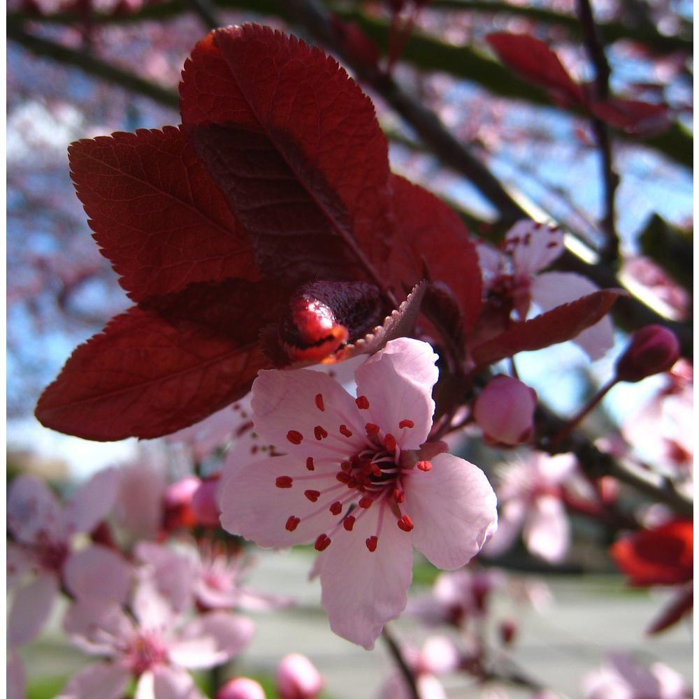 Wild Black Cherry Prunus Serotina These Look Very Similar To Chokecherries But You Can Tell The Wild Black Cherry Recipes Black Cherry Recipes Black Cherry