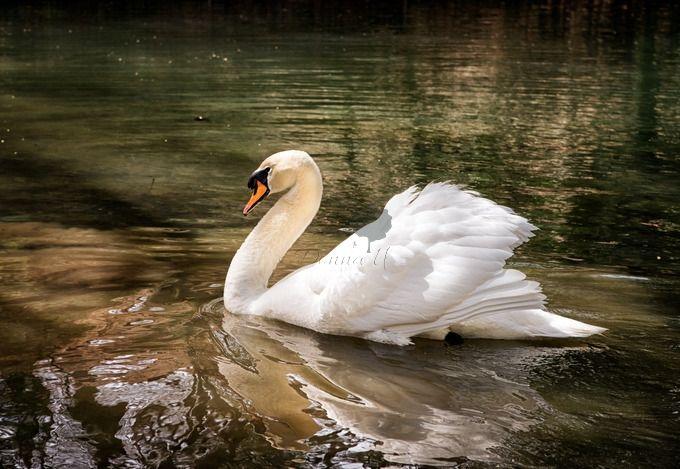 """Photo """"MajesticSwan"""" by donnaunderwood"""