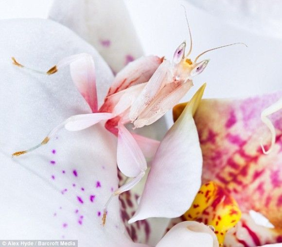 Saw The Orchid Mantis On Animal Crossing And Was Like There S No