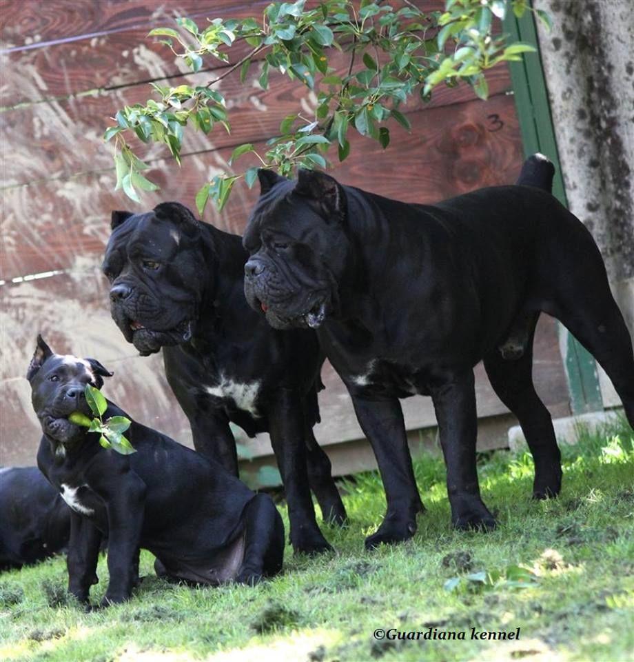 Cane Corso Cane Corso Beautiful Dogs Bully Dog