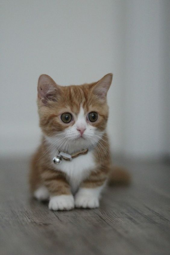 Dwarf Cats Everything You Need To Know About Feline Dwarfism Cute Cats Kittens Munchkin Kitten Kittens Cutest
